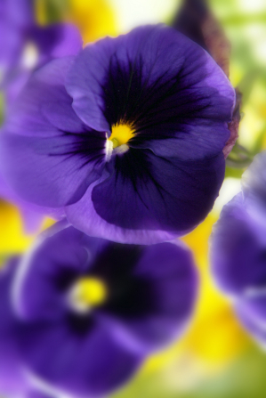 A bunch of deep purple pansies with tiny bits of golden yellow at the centers.