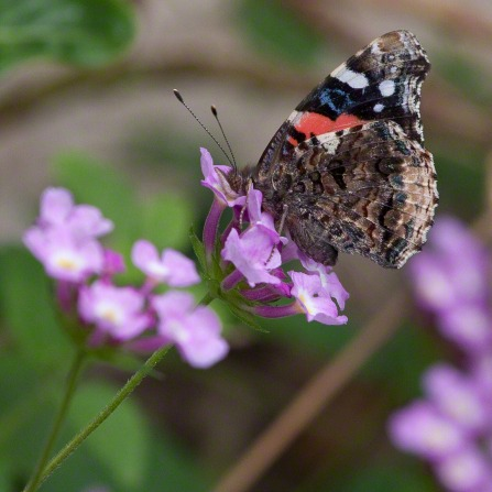A multicolored butterfly lands on a little purple flower near other flowers.