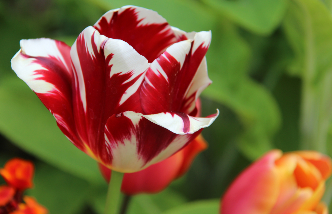 A close-up view of a red and white tulip, with red and orange flowers and green leaves in the background in the spring.