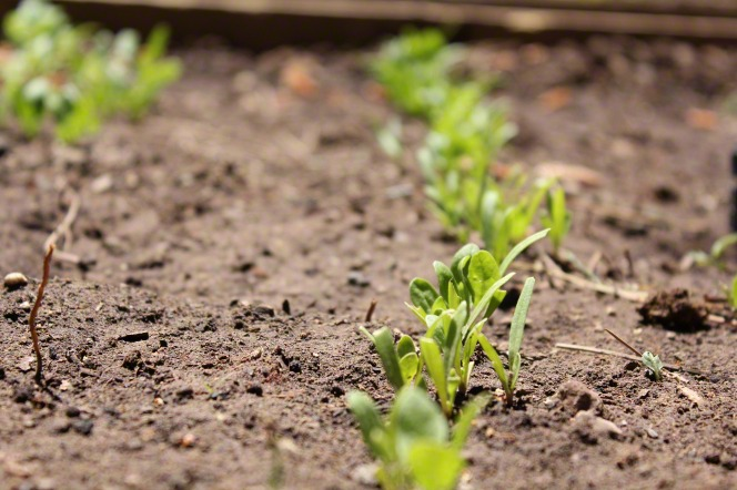 Seeds planted in a garden sprout green leaves as they come out of the dirt.