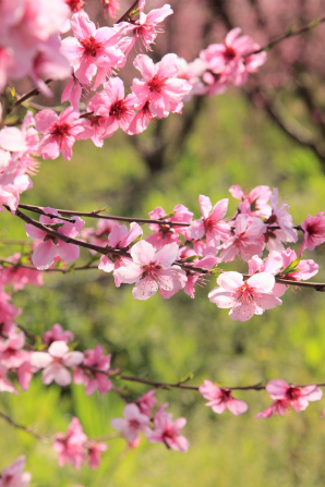 A few tree branches covered in pink blossoms on a sunny spring day.