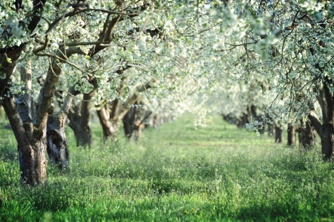Green grass in an orchard below two lines of trees with white blossoms.
