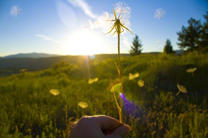 A hand holds up a dandelion with white seeds flying off of it and a view of a field behind it.