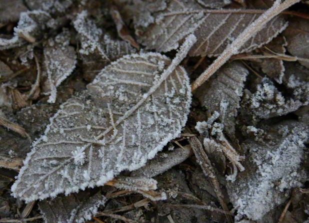 Fallen brown leaves are covered in frost.
