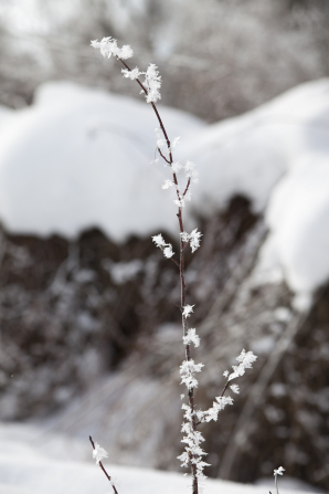 Frost and snow on a tall plant in winter.
