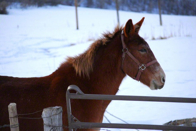A brown mule wearing a halter stands behind a fence in a snow-covered field.