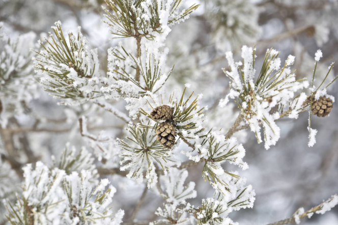 Snow covers a pine tree that has small pine cones on it.
