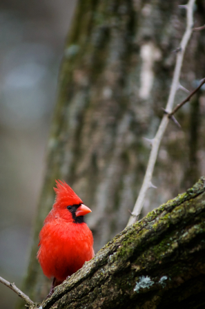 A red cardinal with a black face perches on a frost-covered tree in winter.