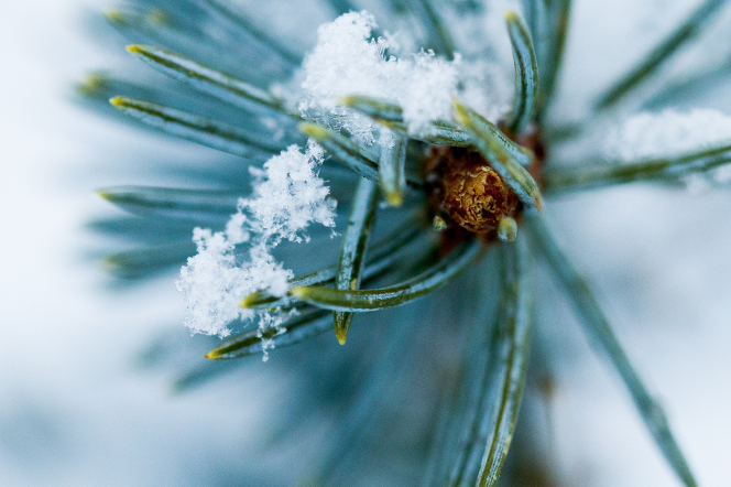 Green pine needles on a brown branch covered in snow.