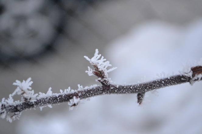Frost covers a long branch on a tree in winter.