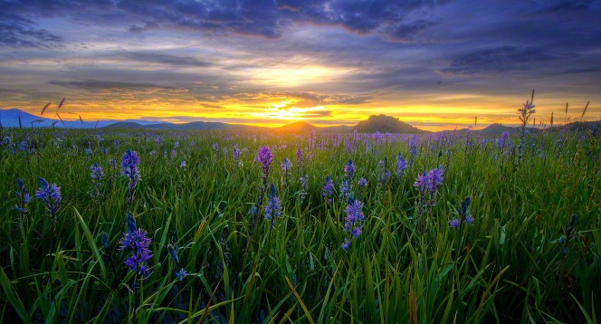 Small purple flowers and green grass fill a field at sunset with clouds above.