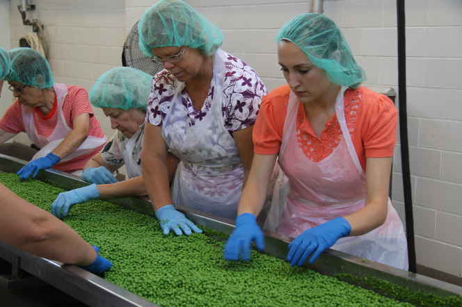 Four women in white aprons, blue gloves, and hairnets sorting peas at the cannery.