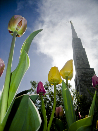 Several spring tulips on the grounds of the Boise Idaho Temple, with the temple spire rising above the flowers.