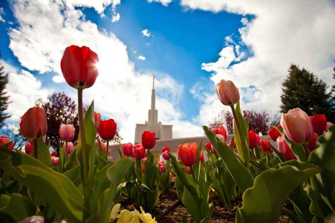 Large, colorful tulips on the grounds of the Denver Colorado Temple, with the temple and a blue sky and white clouds seen in the background.