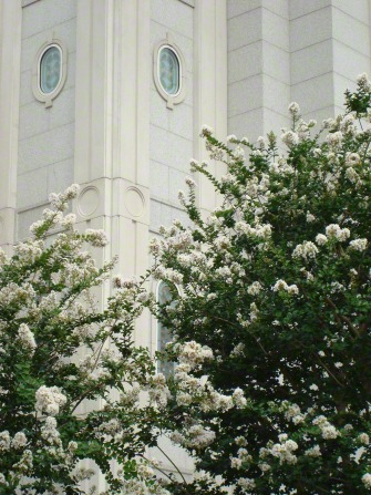 A green tree with white flowers on the temple grounds, growing near the walls of the Houston Texas Temple.