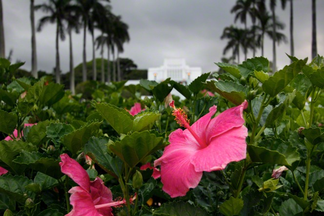 Pink hibiscus flowers on the grounds of the Laie Hawaii Temple, with the temple seen in the background.