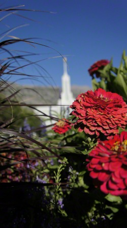 Some pink flowers on the grounds of the Mount Timpanogos Utah Temple, with the temple's spire seen in the background.