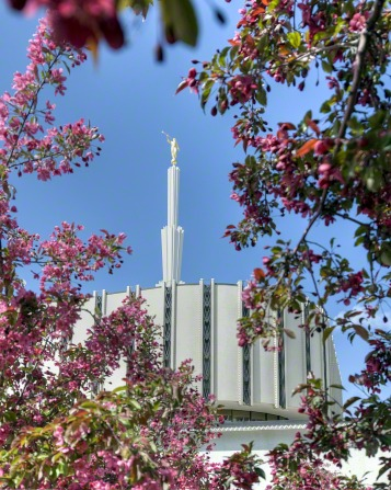 The spire and angel Moroni statue on the old Ogden Utah Temple, seen between pink blossoms of a tree on the grounds of the temple.