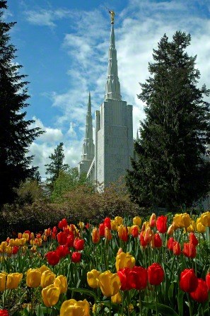 Orange and yellow tulips on the grounds of the Portland Oregon Temple, with the temple's spires seen in the background rising above the trees.