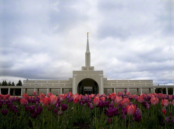 Tulips on the grounds of the Toronto Ontario Temple, with a view of the entire temple in the background.