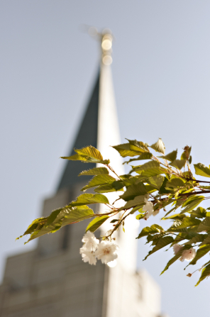 A flower on a tree, with a view of the Vancouver British Columbia Temple spire in the background.