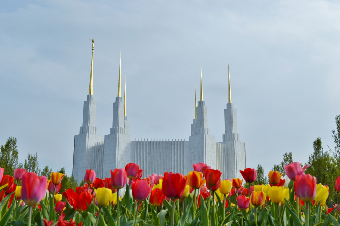 The entire Washington D.C. Temple, with a garden of tulips along the side.