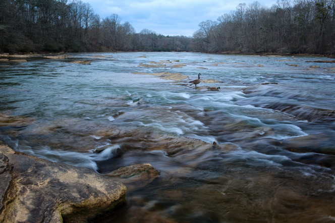 Two geese stand on rocks in the Chattahoochee River, with leafless trees in the background.