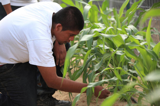 An Indian man in a white T-shirt, jeans, and black shoes, kneeling by a green row of growing corn.