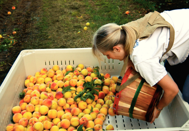 A woman in an orchard leaning over and pouring peaches into a large bin from a basket strapped around her back.