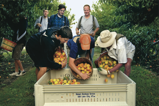 Men and young men pouring peaches from picking baskets into a square tan bin inside an orchard.