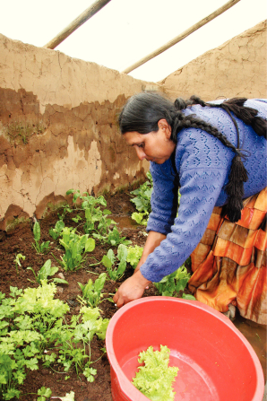 A woman from Bolivia with black braided hair, a blue sweater, and an orange skirt, leaning over to collect vegetables in a bucket.