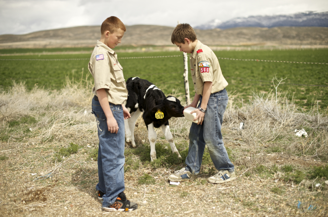 Two Boy Scouts standing by a green field and feeding a calf with a bottle of milk.