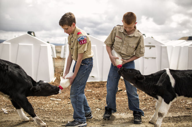 Two Boy Scouts standing and feeding calves from bottles of milk.