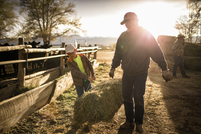 A man and young boy working on the farm, hauling a green bale of hay by the strings as they walk by the cows' manger.